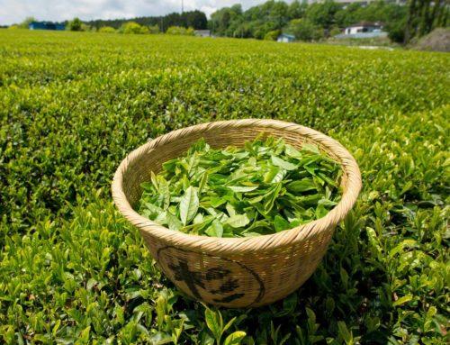 Ceaiul verde secătuieşte cancerul