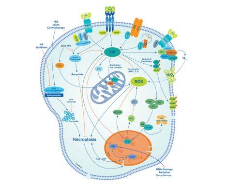 O nouă abordare în imunologieNecroptoza poate ajuta sistemul imunitar să ucidă cancerul